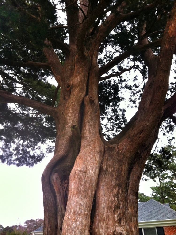My favorite neighborhood tree - two cedars merged together as one. Rooted together.